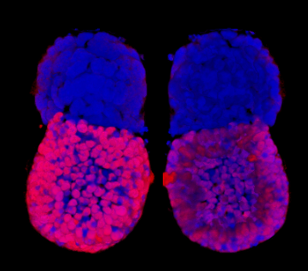 ETS artificial embryos