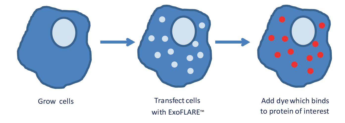 Exosomes tracking, protocol including cell transfection